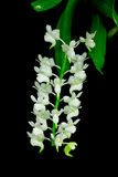 Aerides odorata,Closed pouch rose orchid Royalty Free Stock Image