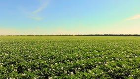 Aero Blomningpotatisar Vitt blekt - rosa blommor blommar på potatisbuskar på ett lantgårdfält V?xa f?r potatis _ arkivfilmer