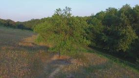 Aero Flight near the alone tree on sunset.  stock video