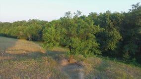 Aero Flight over the alone tree on sunset.  stock video footage