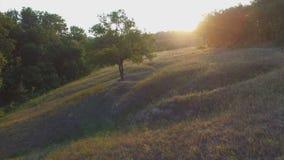 Aero Flight over the alone tree on sunset.  stock footage