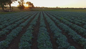 Aero Flight over the cabbage field in sunset stock video