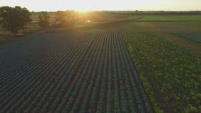 Aero Flight over the cabbage field in sunset stock footage