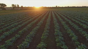 Aero Flight over the cabbage field in sunset stock video footage