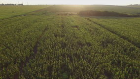 Aero Flight over the corn field in sunset stock video