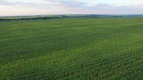 Aero Flight over the corn field in sunset stock video footage