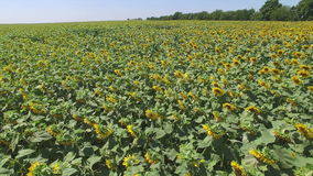 Aero Flight over the sunflower field sunny day stock video