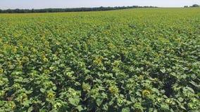 Aero Flight over the sunflower field sunny day stock video footage