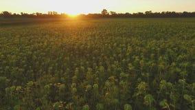 Aero Flight over the sunflower field in sunset stock video