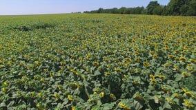 Aero Flug in dem sonnigen Tag des Sonnenblumenfelds stock video