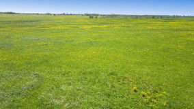 Aero look in field of blossoming yellow dandelions in sunny day.  stock footage