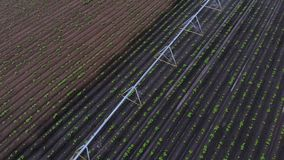 Aero view from above, potatoes grow on field, irrigated by a special watering pivot sprinkler system. it waters small. Green bushes of potatoes planted in rows stock video