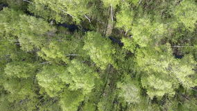 Aero view from drone on the birch wood in the summer sunny day.  stock footage