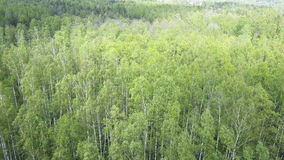 Aero view from drone on the birch wood in the summer sunny day.  stock video footage