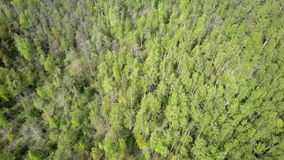 Aero view from drone on the birch wood in the summer sunny day.  stock video