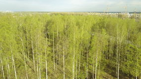 Aero view from drone on the birch wood in the summer sunny day,. Aero view from drone on the birch wood in the summer sunny day stock footage