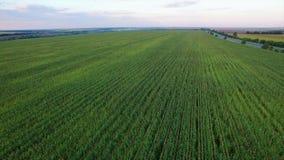 Aero- vuelo sobre el campo de maíz en puesta del sol almacen de video