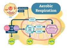 Aerobic Respiration bio anatomical vector illustration diagram