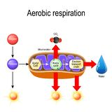 Aerobic respiration. Cellular respiration. Pyruvate enter the mitochondria in order to be oxidized by the Krebs cycle. products of this process are carbon vector illustration