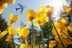Aeroplano o avión de pasajeros que vuela sobre tulipanes amarillos florecientes Foto de archivo