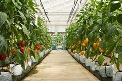 Aeroponics plantation in glasshouse Royalty Free Stock Photo