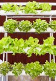 Aeroponics plantation in glasshouse Royalty Free Stock Photography