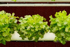 Aeroponics plantation in glasshouse Royalty Free Stock Photography