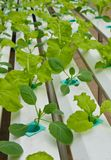 Aeroponics plantation in glasshouse Stock Photos