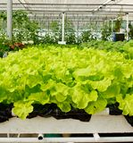 Aeroponics plantation in glasshouse Royalty Free Stock Images