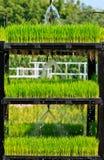 Aeroponics rice plantation technic stock image