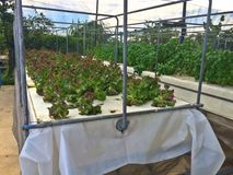 Aeroponics vegetable farm Stock Image