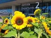 Aeroporto de Schiphol do girassol Imagem de Stock