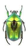 Aeruginosa de Protaetia Foto de Stock