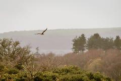 Aeruginosus del circo del falco di palude in volo fotografie stock