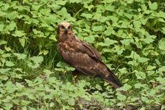 Aeruginosus di Marsh Harrier Circus fotografia stock libera da diritti