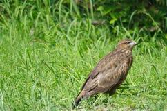 Aeruginosus di Marsh Harrier Circus fotografia stock