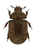 Aesalus scarabaeoides Lizenzfreie Stockfotos