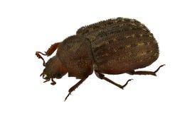 Aesalus scarabaeoides Stockfotos