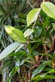 Aeschynanthus-Baumstamm und tropischer Baum des Blattes Lizenzfreies Stockfoto