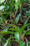 Aeschynanthus-Baumstamm und tropischer Baum des Blattes Lizenzfreie Stockbilder