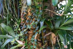 Aeschynanthus-Baumstamm und tropischer Baum des Blattes Stockfotos