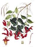 Aeschynanthus Bracteatus Royalty Free Stock Photography
