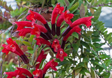 Aeschynanthus Stock Photo