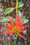 Aeschynanthus Hildebrandii, wilde Blumen im Wald Stockbilder