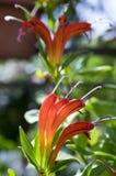 Aeschynanthus-speciosus in der Blüte, recht orange Rot blüht Stockbilder