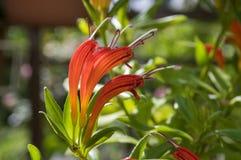 Aeschynanthus-speciosus in der Blüte, recht orange Rot blüht, Zierpflanze Stockfotos