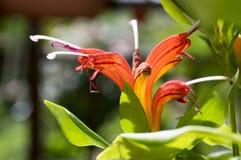 Aeschynanthus-speciosus in der Blüte, recht orange Rot blüht, Zierpflanze Lizenzfreies Stockfoto