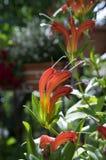 Aeschynanthus-speciosus in der Blüte, recht orange Rot blüht, Zierpflanze Stockbilder