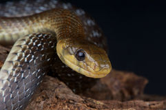 aesculapian змейка стоковые изображения rf