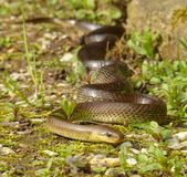 Aesculapian rat snake. In its natural habitat. Zamenis longissimus royalty free stock images